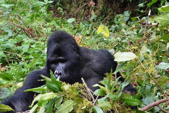2 dias Gorilla Tracking Ruanda