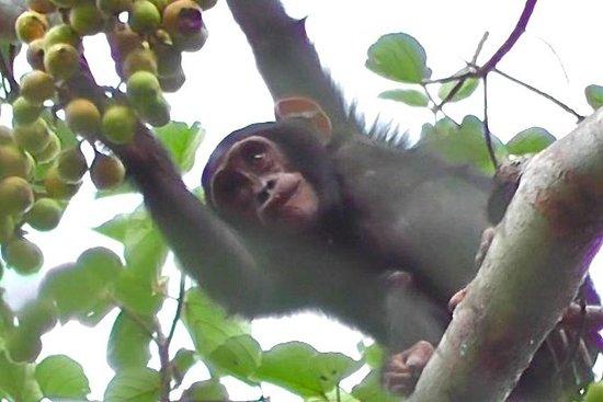Safari de rastreamento de chimpanzé...