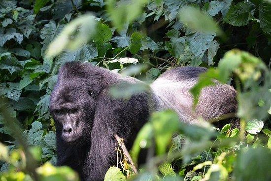 5 jours de gorilles et safari de la...
