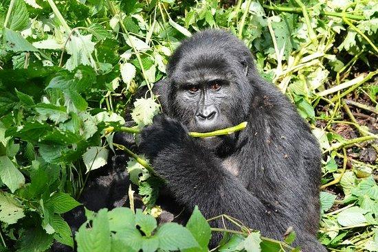 3 dias Gorilla Tracking Ruanda