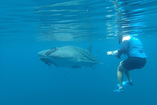 Snorkel and Whale Shark Adventure