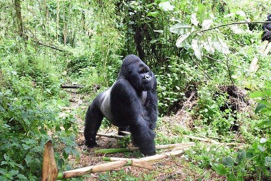 Lowland Gorilla trekking in...