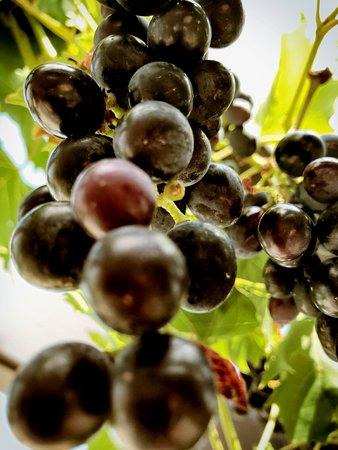 Paviljoen Struis: Druiven van eigen bodem