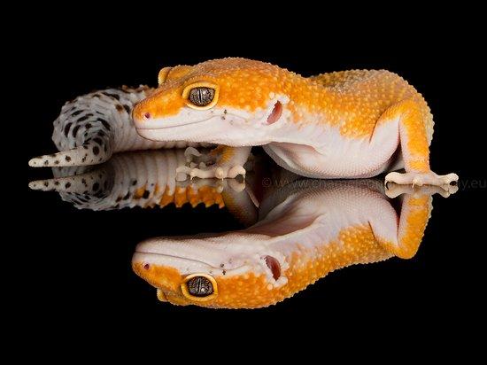 Leopard Gecko reflection