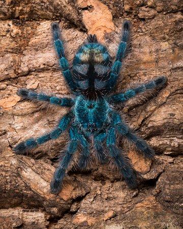 Martinique Pinktoe Tarantula spiderling