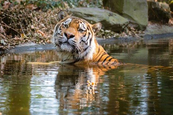 Amur Tiger, Holland photography workshop