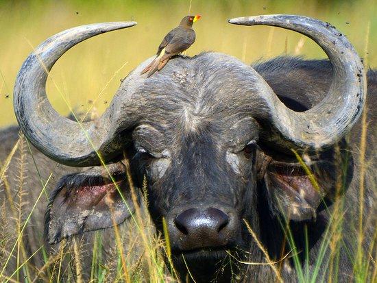 Cape Buffalo live mutual with starling...you can best see them i Serengeti, Ngorongoro & Tarangire
