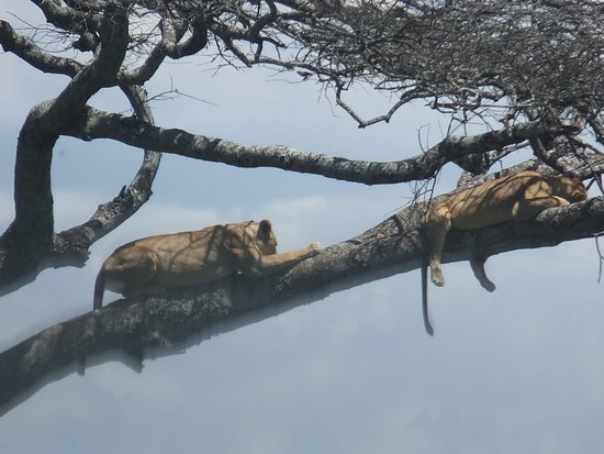 Vườn quốc gia Serengeti, Tanzania: Lion resting on the tree, - What a beautiful Tanzania!! #borderlesstours.com