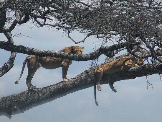 Vườn quốc gia Serengeti, Tanzania: #serengetinationapark #bigcatsafaris @borderlesstours.com