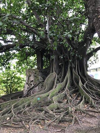 Habitation Clement: Fig tree