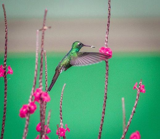 Cuban Emerald Hummingbird in the garden of Casa Tiki