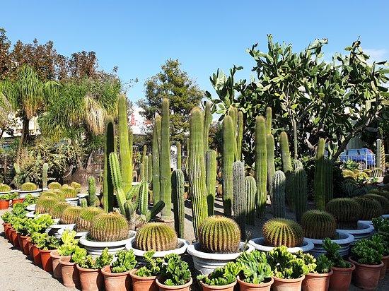 ShengYuan Cactus