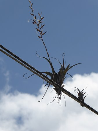 Tillandsia's on a wire