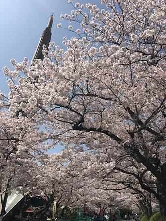 下から桜を見上げる。 青空が心地よい。