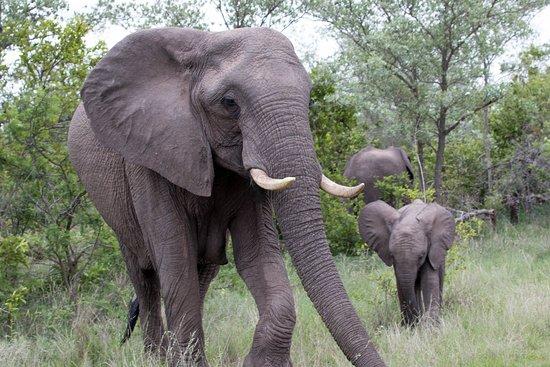 Elephant blocking the road, close to Berg-en-dal.