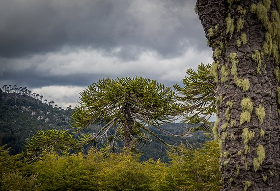 Trekking desafío Nahuelbuta, 6 días de caminata por antiguos bosques de araucarias, realmente hermoso, mágico y silencioso