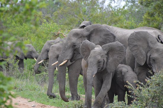 Ngala Private Game Reserve, South Africa: So many elephants this day!