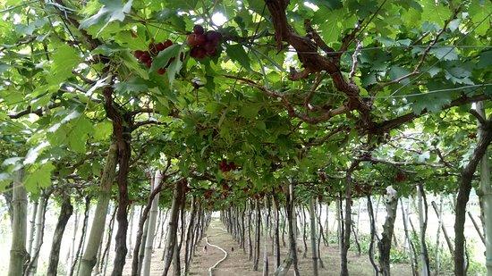 Gapuz Grapes Farm: grapes