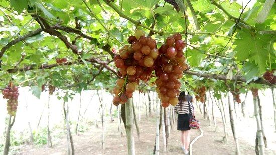 Gapuz Grapes Farm: juicy grapes