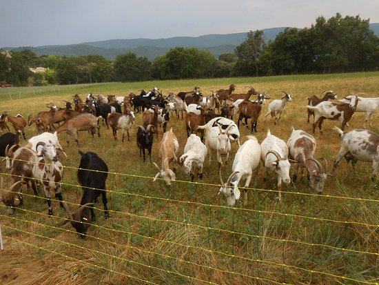 Goat farm near Cereste
