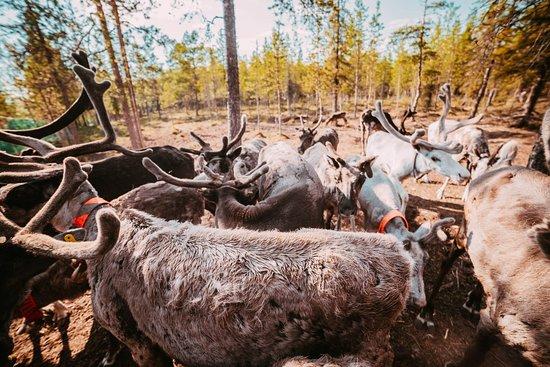 Lovozero, Rússia: Северные олени