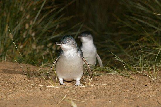 从墨尔本出发的全日企鹅游行和墨尔本城市之旅