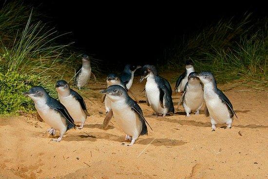 メルボルン午後発フィリップ島野生動物ツアーとペンギン パレード