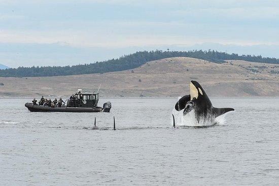 Baleia de verão assistindo na ilha de...