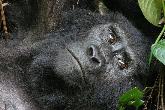 5 jours de gorilles de Bwindi...