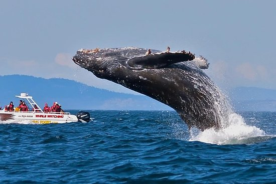 Blue Whale Watching - fra Kosgoda...