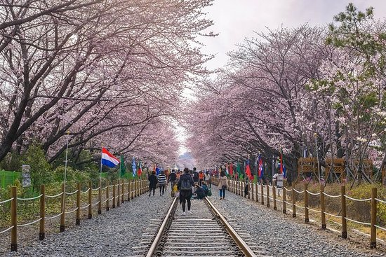 Day Tour to Jinhae Cherry Blossom...
