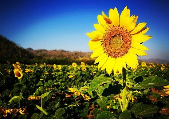 Saraburi Province, Thailand: Sunflower farm, no entrance fee