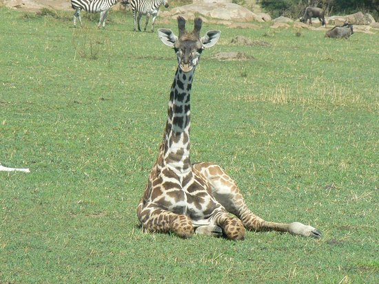 Tanzania: #giraffesafaris #borderlesstours