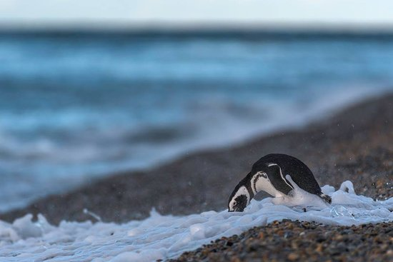 Punta Ninfas, Argentina: Los pinguinos son uno de los muchos habitantes que eligen nuestra zona para vivir la mayor parte del año.