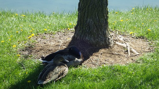 Heritage Park: Lots of ducks to be seen