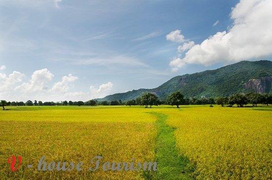 Провинция Жанг, Вьетнам: In Mekong Delta of Vietnam - a yellow fields