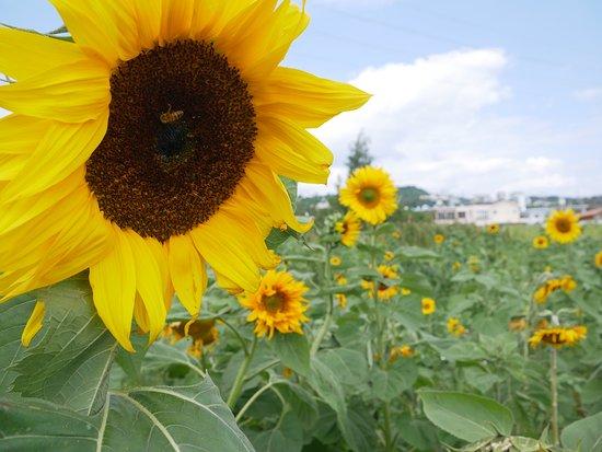 Sunflower in Kitanakagusuku