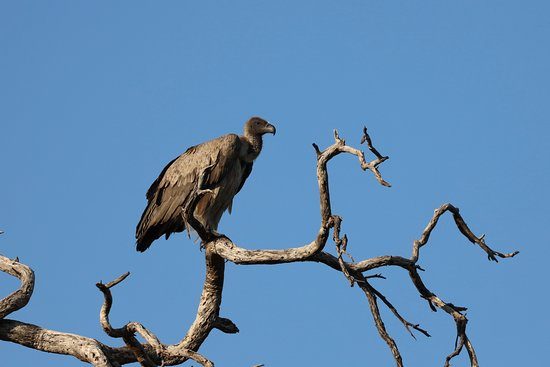 White backed vulture near kudu carcass