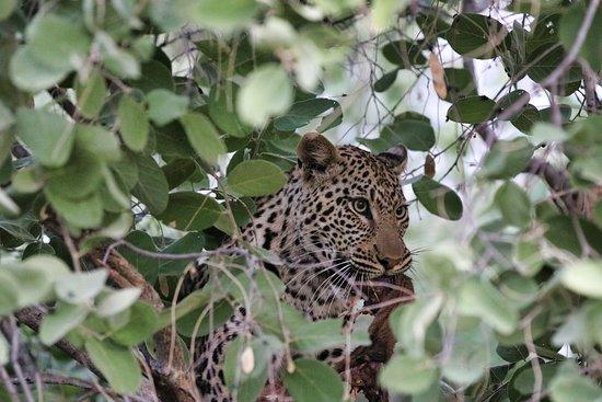 Linyanti Reserve, บอตสวานา: Leopard enjoys left-overs