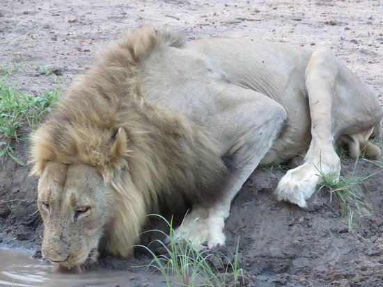 Manyeleti Game Reserve, Νότια Αφρική: Lion enjoying refreshments