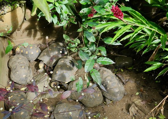 Phantasea Tropical Botanical Garden: Red-footed tortoises