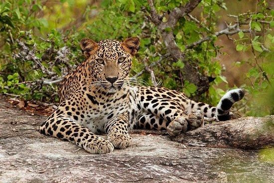Safari Leopard privado durante la...