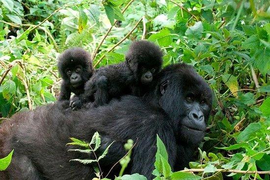 3 Days Gorilla Trekking to Bwindi