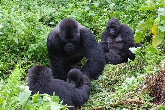 3 Day Congo gorilla trekking safari