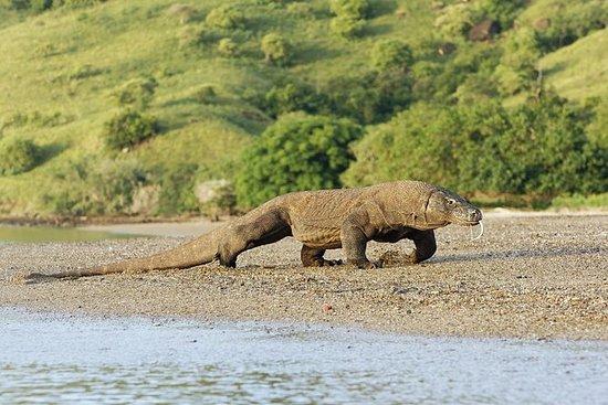 2 Dias de Visita ao Dragão de Komodo...