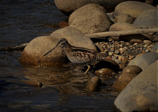 Bumthang District, Bhutan: Solitary Snipe as beautiful as I can see with my naked eye.