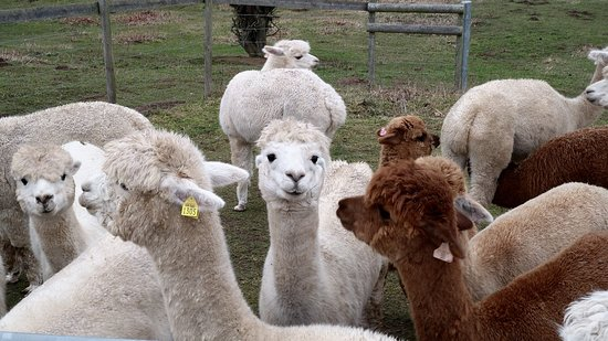 Kenilworth, UK: Faerie Tale Alpacas