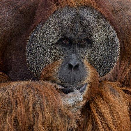 Orang-outang de Sumatra