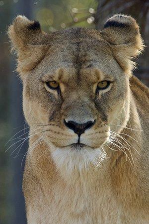 Lionne d'Afrique