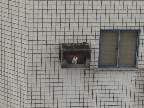 Na praça e nos seus arredores habitam diversas espécies de pássaros. Se vc der sorte pode quem sabe avistar um falcão peregrino como esse que nos visitou 02 anos seguidos entre out e abril, descansando quase toda tarde nessa caixa de ar.